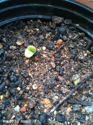 芽が出てます